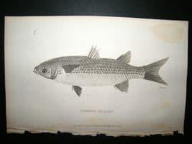 Shaw C1810 Antique Fish Print. Common Mullet