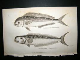 Shaw C1810 Antique Fish Print. Common & Plumier's Coryphene