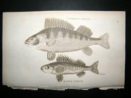 Shaw C1810 Antique Fish Print. Common & Ruff Perch