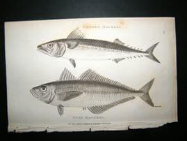 Shaw C1810 Antique Fish Print. Common & Scad Mackerel