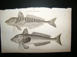 Shaw C1810 Antique Fish Print. Cuckow & Grey Gurnard
