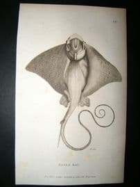 Shaw C1810 Antique Fish Print. Eagle Ray