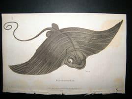 Shaw C1810 Antique Fish Print. Fasciated Ray