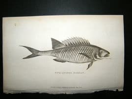 Shaw C1810 Antique Fish Print. Five-Spinned Bodian