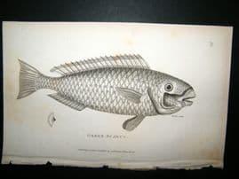 Shaw C1810 Antique Fish Print. Green Scarus