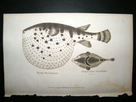 Shaw C1810 Antique Fish Print. Haret Ocellated Tetrodon
