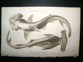 Shaw C1810 Antique Fish Print. Heart-Headed & hammer-Headed Shark