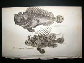 Shaw C1810 Antique Fish Print. Horrid & Antennated Scorpaena