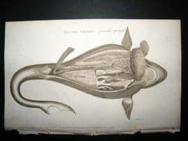 Shaw C1810 Antique Fish Print. Hound shark (Female Opened)