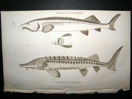 Shaw C1810 Antique Fish Print. Isinglass & Common