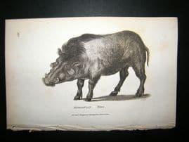 Shaw C1810 Antique Print. Aethiopian Hog