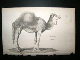 Shaw C1810 Antique Print. Arabian Camel