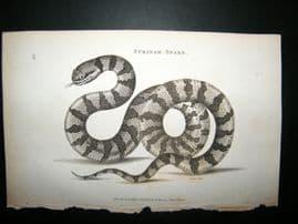 Shaw C1810 Antique Print. Black-Backed Hydrus