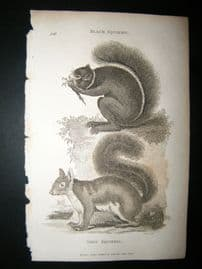 Shaw C1810 Antique Print. Black & Grey Squirrel