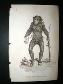 Shaw C1810 Antique Print. Black Orangutang