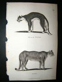 Shaw C1810 Antique Print. Black Tiger & Puma