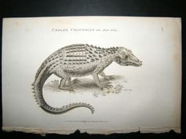 Shaw C1810 Antique Print. Ceylon Crocodile