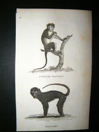 Shaw C1810 Antique Print. Chinese Monkey & Mongabey