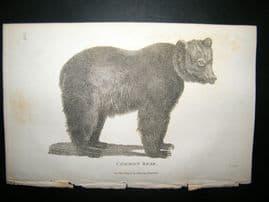 Shaw C1810 Antique Print. Common Bear