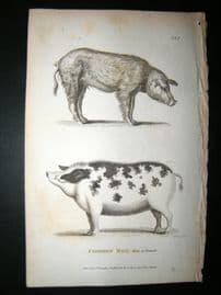 Shaw C1810 Antique Print. Common Hog Male & Female, Pigs