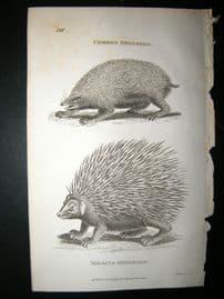 Shaw C1810 Antique Print. Common & Malacca Hedgehog