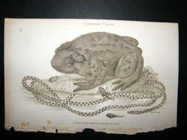 Shaw C1810 Antique Print. Common Toad