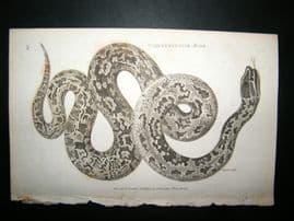 Shaw C1810 Antique Print. Constrictor Boa
