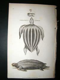 Shaw C1810 Antique Print. Coriaceous Turtle