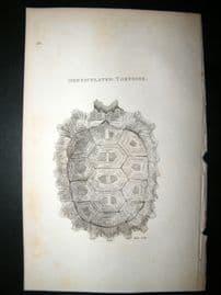 Shaw C1810 Antique Print. Denticulated Tortoise