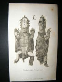 Shaw C1810 Antique Print. Fimbriated Tortoise