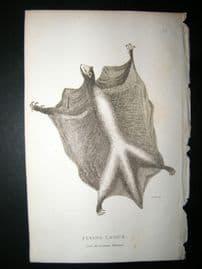 Shaw C1810 Antique Print. Flying lemur