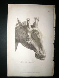 Shaw C1810 Antique Print. Head Of Giraffe
