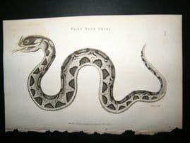 Shaw C1810 Antique Print. Horn Nose Snake