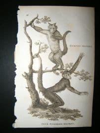 Shaw C1810 Antique Print. Horned & Four-Fingered Monkey