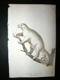 Shaw C1810 Antique Print. Little Ant-Eater