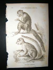 Shaw C1810 Antique Print. Long Fingered & Flocky Lemur