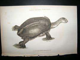 Shaw C1810 Antique Print. Long-Necked Tortoise