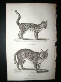 Shaw C1810 Antique Print. Margay & Serval