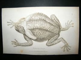 Shaw C1810 Antique Print. Marine Toad
