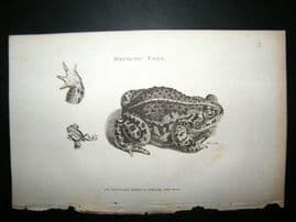 Shaw C1810 Antique Print. Mephitic Toad