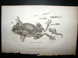 Shaw C1810 Antique Print. Merion Frog