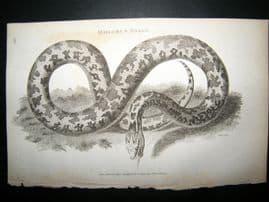 Shaw C1810 Antique Print. Molurus Snake