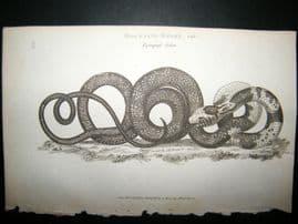 Shaw C1810 Antique Print. Mourning Snake