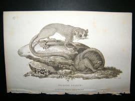Shaw C1810 Antique Print. Murine Lemur
