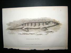 Shaw C1810 Antique Print. Officinal Scink