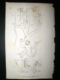 Shaw C1810 Antique Print. Philippines Monkey