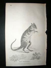 Shaw C1810 Antique Print. Rat Kangaroo, Australia Native