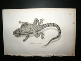 Shaw C1810 Antique Print. Rough Lizard