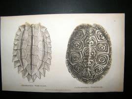 Shaw C1810 Antique Print. Serrated & Concentric Tortoise