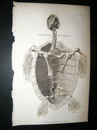 Shaw C1810 Antique Print. Skeleton Of Turtle